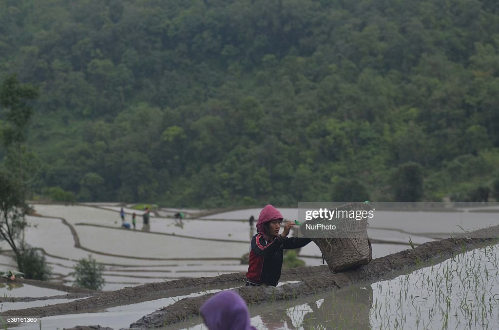 A tribal Naga farmer collect her bamboo basket as she works at a water bedded rice paddy field for plantation at Shajouba Village in the Senapati district of India north eastern state of Manipur on Tuesday, May 31, 2016. Over 70 percent of Indians depend on farm incomes and about 65 percent of the country's farms depend on monsoon rains that fall between June and September.
