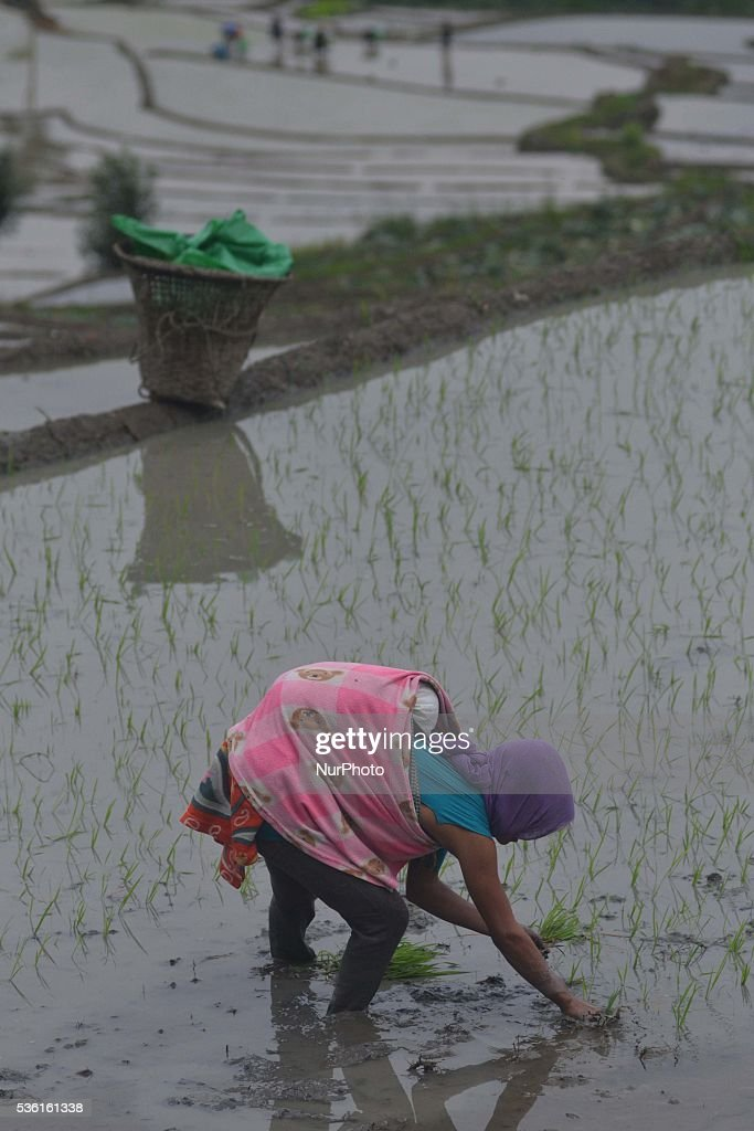 A tribal Naga farmer with her child on her back works at a water bedded rice paddy field for plantation at Shajouba Village in the Senapati district of India north eastern state of Manipur on Tuesday, May 31, 2016. Over 70 percent of Indians depend on farm incomes and about 65 percent of the country's farms depend on monsoon rains that fall between June and September.