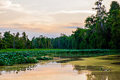 Tributary covered with water hyacinth, Kinabatangan river and its tributaries, river landscape.