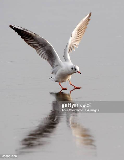 A tricky landing on the frozen lake for this blackheaded gull at Fairburn Ings nature reserve Castleford West Yorkshire