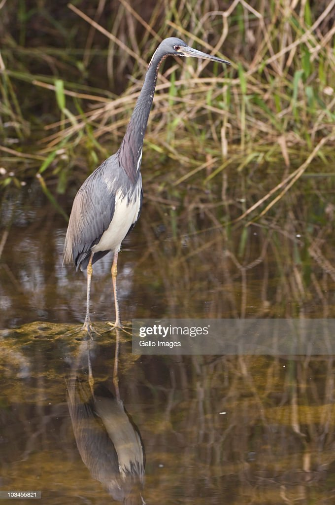 Tricolor Heron (Egretta tricolor), Everglades National Park, Florida, USA : Stock Photo