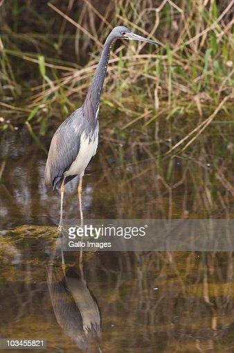 Tricolor Heron (Egretta tricolor), Everglades National Park, Florida, USA : Stock Photo