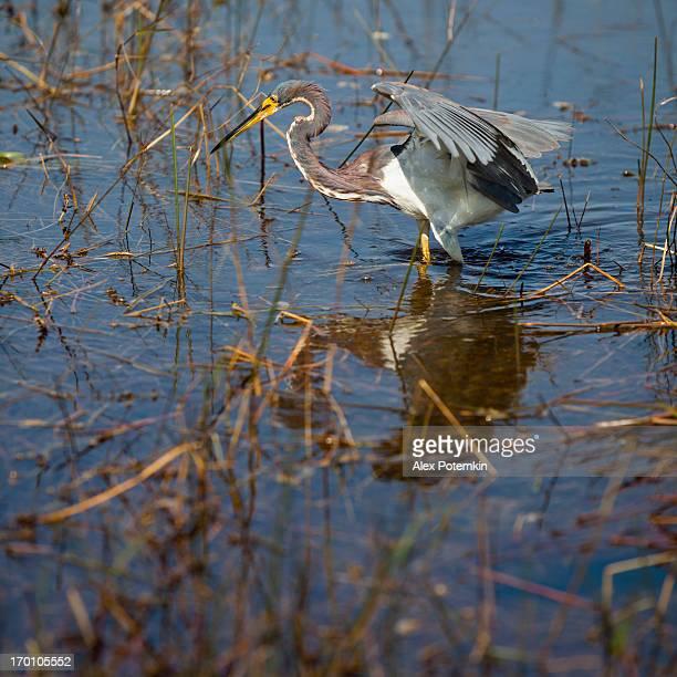 Aigrette tricolore (Egretta tricolor) de la pêche dans les Everglades