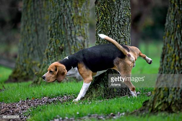 Tricolour Beagle dog urinates against tree in forest