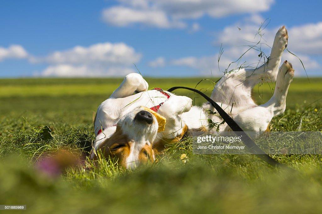 Tricolour Beagle, male rolling in the grass