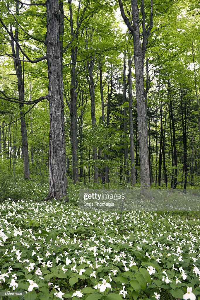 Trillium Carpet A Forest Floor Stock Photo | Getty Images