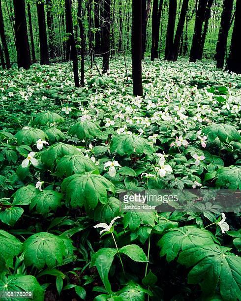 Trillium sulla foresta piano
