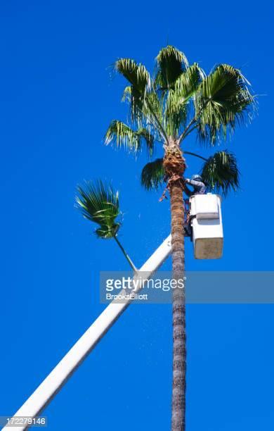Corte de una palmera de altura
