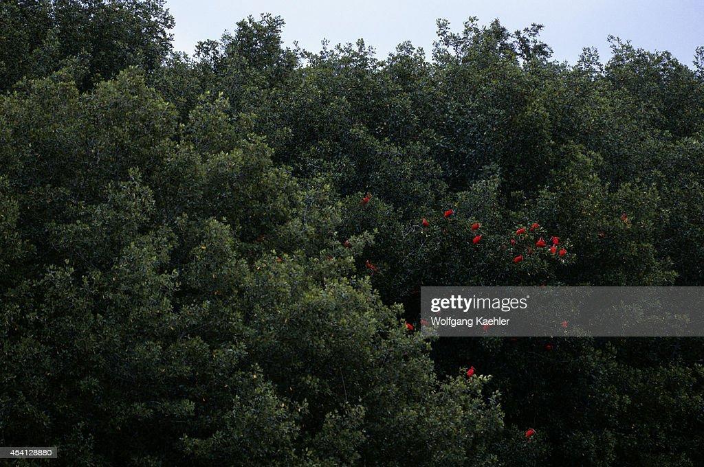 Trinidad Caroni Sanctuary Scarlet Ibis In Mangroves