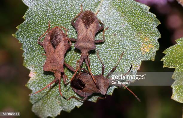 Trio of Dock Bugs (Coreus marginatus)