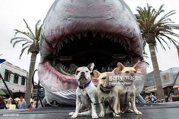 A trio of dogs pose for a picture with the 60foot mechanical shark known as Sharkzilla at FinFest on August 9 2014 in Hermosa Beach California