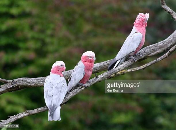 Trio of Roseate Breasted or Galah Cockatoos