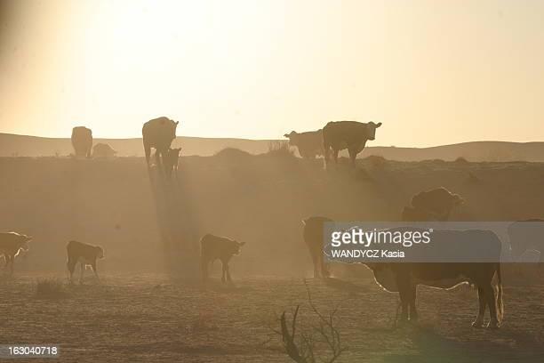 Stockmen La vie quotidienne des stockmen ou jackaroos aux alentours de Birdsville dans les Territoires du Nord en AUSTRALIE troupeau de bovins sur le...