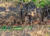 A buck deer standing at attention during the rut and the Wisconsin rifle hunting season.