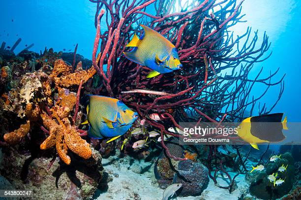 Tropical angelfish on Caribbean coral reef