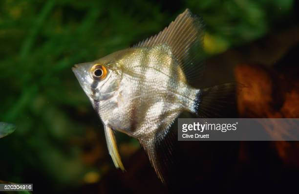 Tropical Angelfish