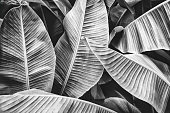 tropical banana leaf texture, large palm foliage nature background, black and white toned