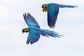 Tropical birds in flight. Blue and yellow gold Macaw parrots flying. Beautiful South-American wildlife and nature image with macaws naturally isolated against a white sky background.