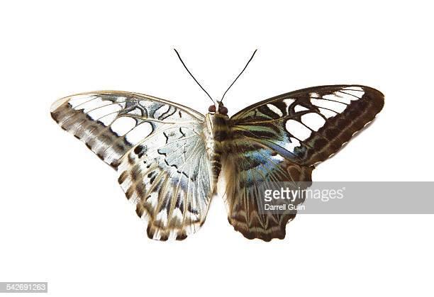 Tropical Butterfly, Parthenos sylvia lilacinus