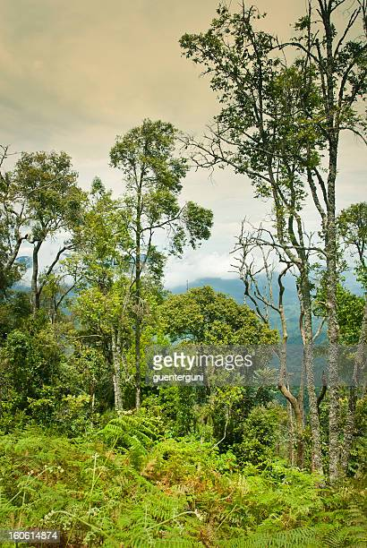 Tropical cloud forest in Nyungwe National Park, Rwanda