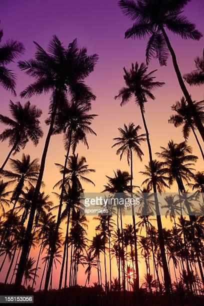 Arbres à la noix de coco tropicale au coucher du soleil