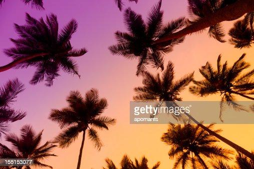 夕暮れ時のトロピカルココナッツの木