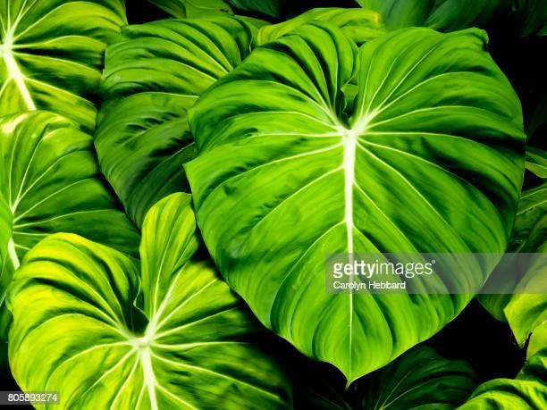 Tropical Elephant Ear Plant