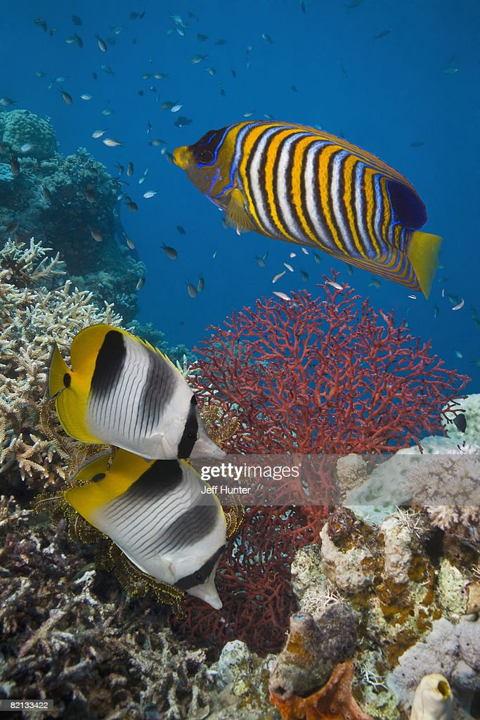 Tropical Fish and Sea Fan