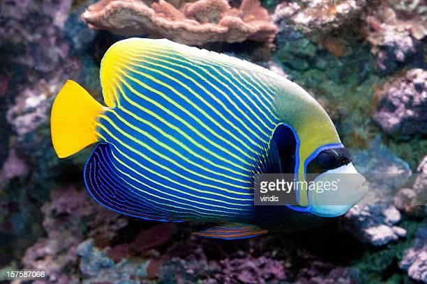 熱帯魚ウミウシ Angelfish