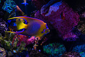 Tropical fish in aquarium under UV light. Angelfish's vibrant colors stand out under special lights.