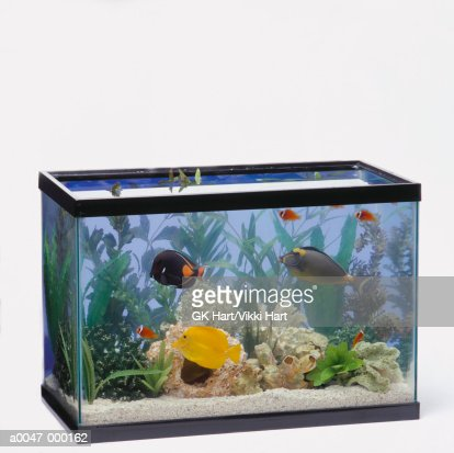 Tropical fish in tank stock photo getty images for Fish stock tank