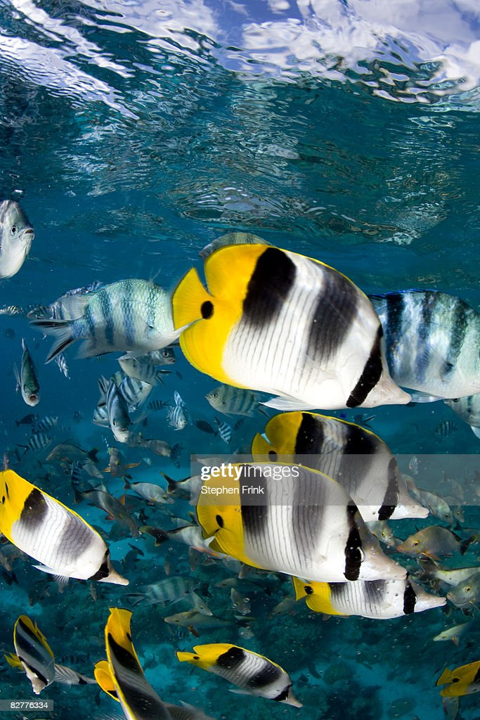 Tropical Fish Just Beneath the Surface, South Paci