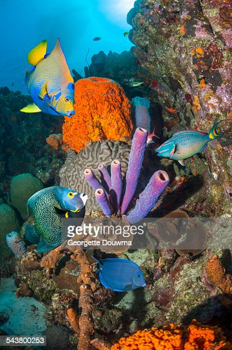 Stoplight parrotfish stock photos and pictures getty images for Caribbean reef fish