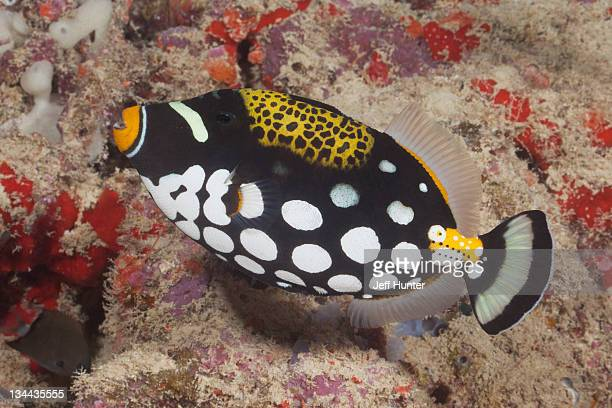 Tropical fish (Clown Triggerfish) on coral reef