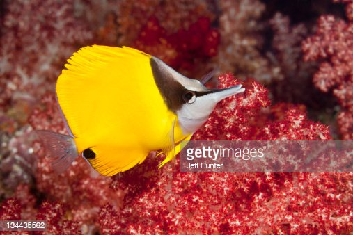 Tropical fish (Longnose Butterflyfish) on reef : Stock Photo