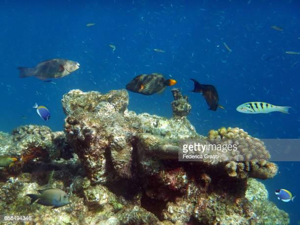 Tropical Fish On The Coral Reef Of Biyadhoo Island, Maldives