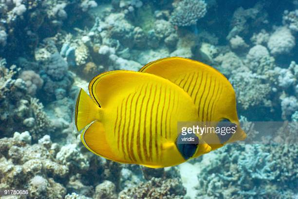 Tropical Fish Orangeface Butterflyfish