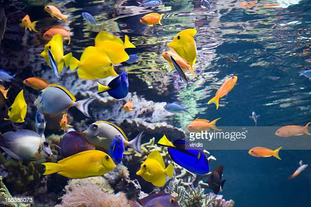 Pesce tropicale foto e immagini stock getty images for Pesce rosso butterfly