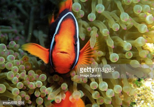 Tropical fish : Stock Photo