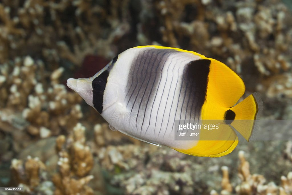 Tropical fish (Double-saddle Butterflyfish) & reef