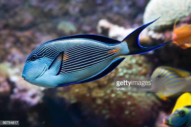 Poisson tropical photos et images de collection getty images for Poisson tropicaux