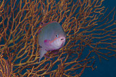 A tropical fish with gorgonian in background, Fiji.