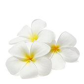 Tropical flowers frangipani (plumeria) isolated on white