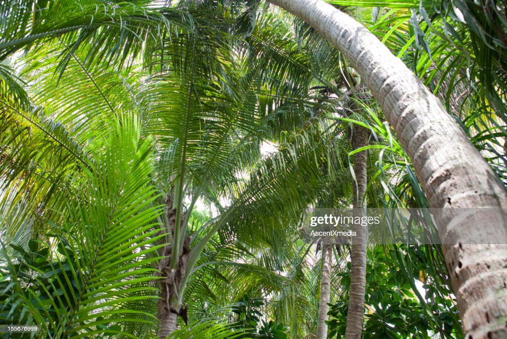 Tropical forest canopy in a jungle : Stock Photo