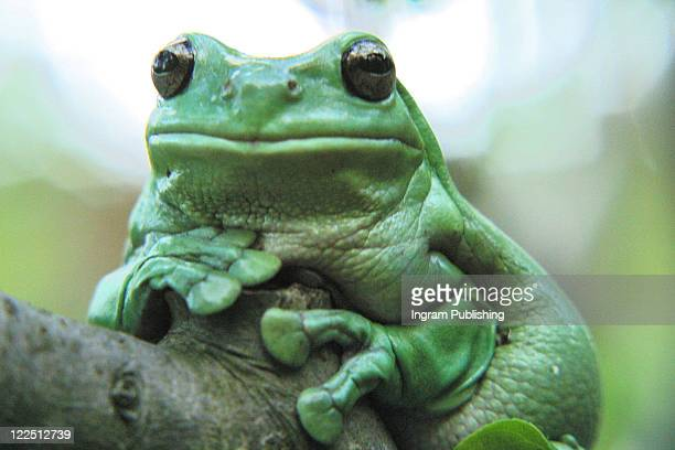 Tropical Frog. Great detail and lavish green colour. Head shot. Big Mouth!. Ewing Its not easy being green