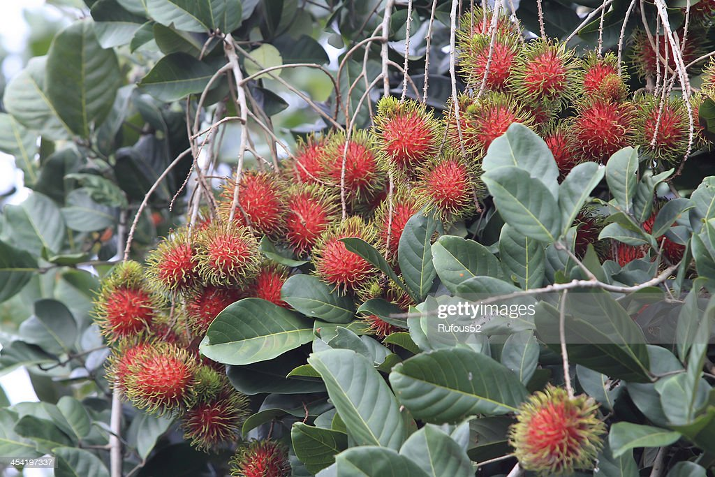 Tropical fruit, Rambutan on tree : Stock Photo