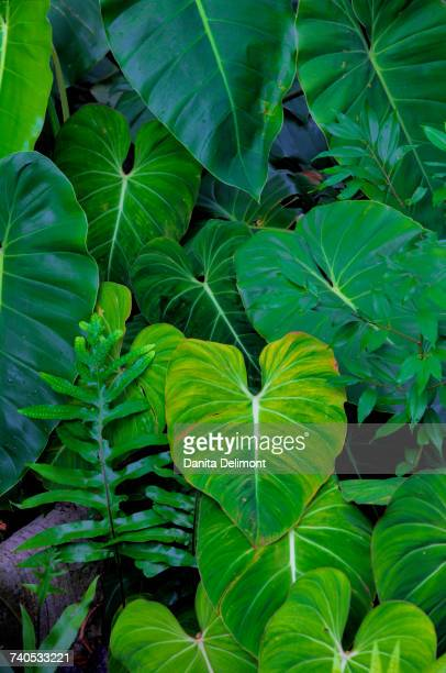 Tropical Gardens with philodendrons, Oahu, Hawaii, USA