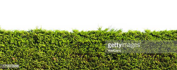 Tropical green hedge over wall