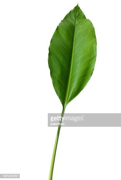 Tropischen grünen Blatt, isoliert auf weiss Mit clipping path