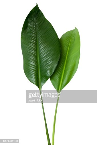 Tropical green leaf with clipping path